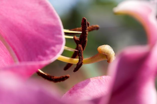 Lírios vermelhos na primavera, flores de lírio para decoração e paisagismo
