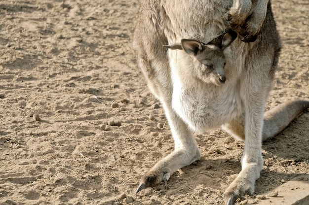 Little joey kangaroo em uma bolsa