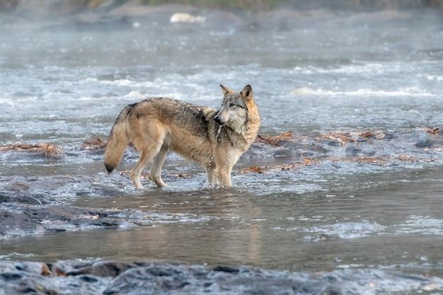Lobo cinzento bebendo de um rio nebuloso