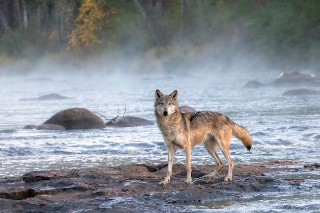 Lobo cinzento cruzando um rio nebuloso ao amanhecer
