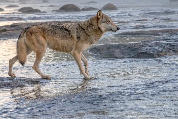 Lobo cinzento espirrando em um rio enevoado ao amanhecer