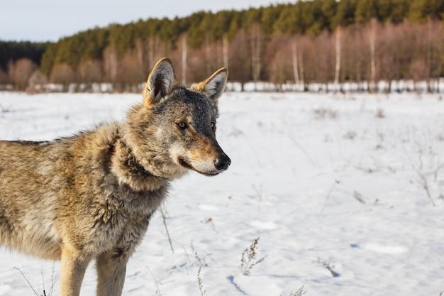 Lobo cinzento no fundo de um céu azul deslumbrante. sol quente de inverno e neve