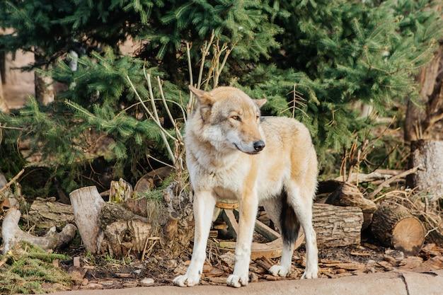 Lobo cinzento no zoológico, animal selvagem