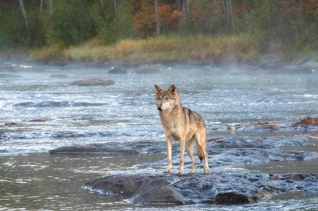 Lobo cinzento parado em um rio enevoado ao amanhecer