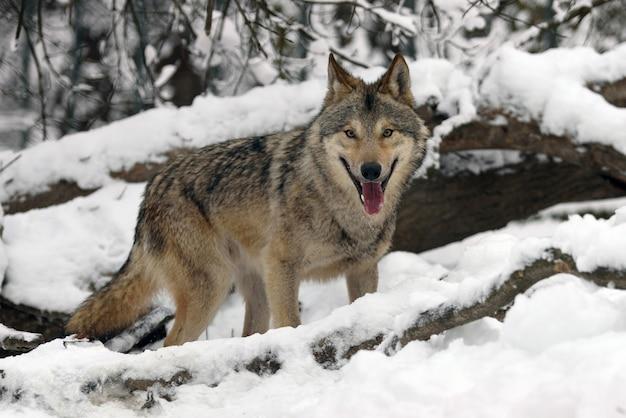 Lobo da madeira caçando na floresta de inverno