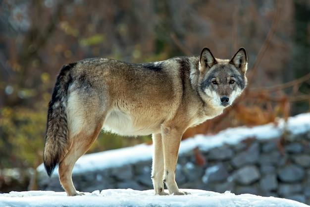 Lobo da madeira em uma cena de inverno