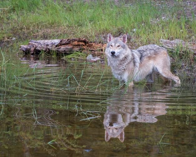 Lobo de tundra na água com uma bela reflexão e ondulações circulares em expansão