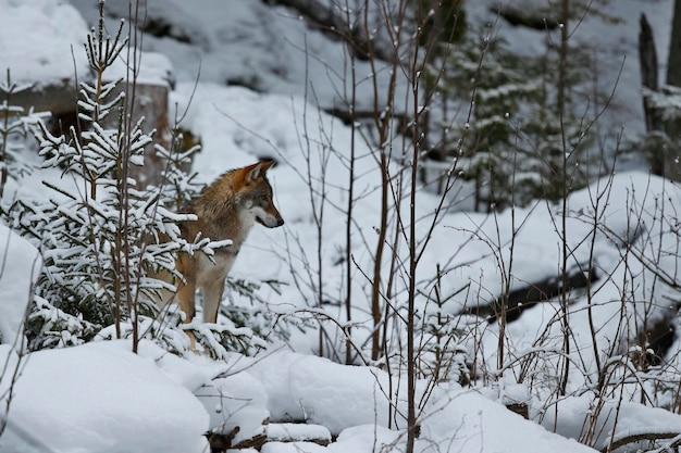 Lobo eurasiático em habitat de inverno branco bela floresta de inverno