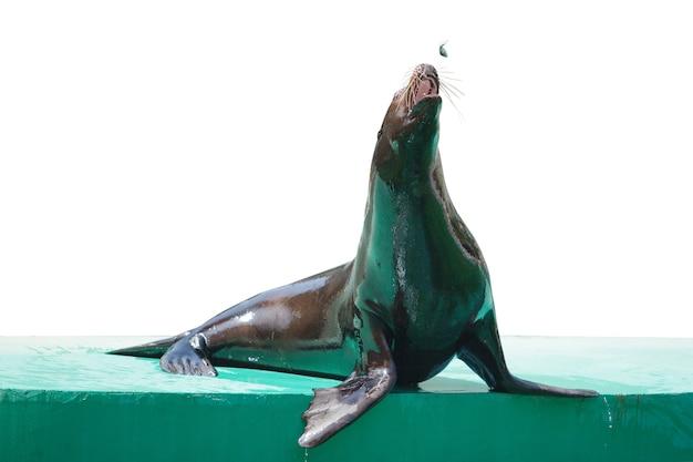 Lobo-marinho, animal raro, proteção e cuidado