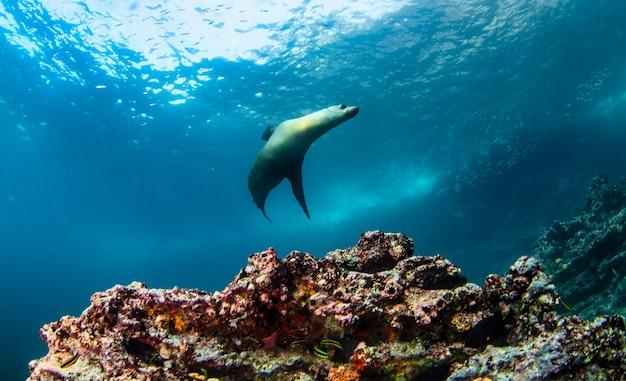 Lobo-marinho de galápagos (arctocephalus galapagoensis) nadando em submarinos tropicais. lobo-marinho no mundo subaquático. observação do oceano de vida selvagem. aventura de mergulho na costa equatoriana de galápagos