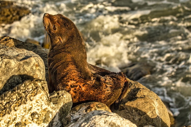 Lobo-marinho nativo da nova zelândia acabou de acordar de seu sono nas rochas na costa de kaikoura