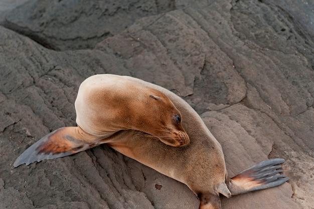 Lobo-marinho, puerto egas, ilha de santiago, ilhas galápagos, equador