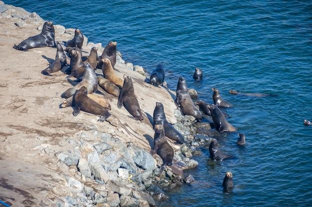 Lobo-marinhos nos eua nadando em um dia ensolarado