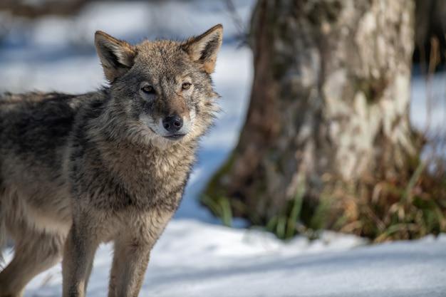 Lobo na floresta de perto. cena da vida selvagem da natureza do inverno. animal selvagem no habitat natural