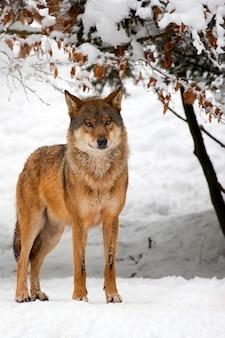 Lobo na neve