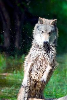 Lobo pulando na grama
