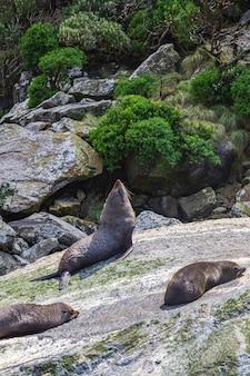 Lobos-marinhos em uma rocha do parque nacional fiordland da nova zelândia