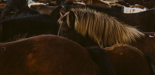 Lombo e crina de muitos cavalos islandeses juntos.