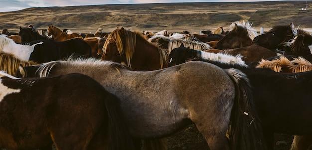 Lombo e juba de muitos cavalos islandeses juntos.