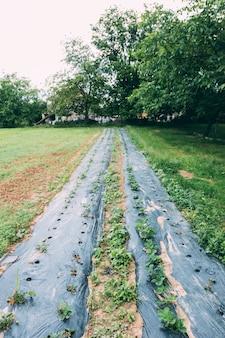 Long camas de jardim com morango