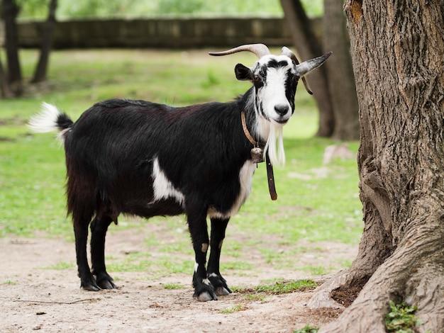 Longa cabra ficar fora