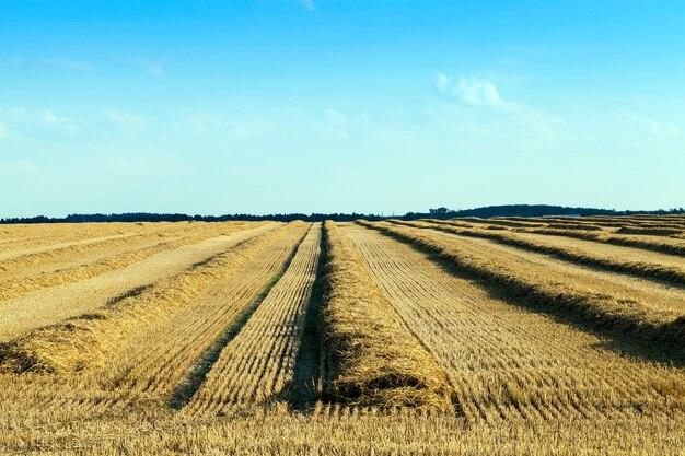 Longas filas retas de palha após a colheita dos grãos, paisagem no meio ou no final do verão,