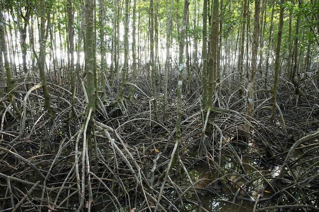 Longas raízes de árvores de mangue. mangue na maré baixa.