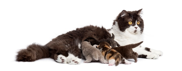 Longhair britânico deitado mentindo seus gatinhos isolados no branco