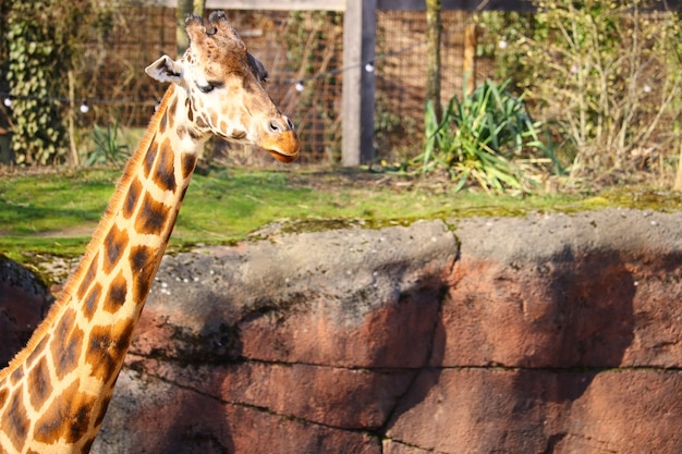 Longo pescoço de uma girafa cercada por grama e plantas no zoológico