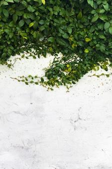 Longos ramos de uma planta em uma parede de estuque branco com fundo de copyspace