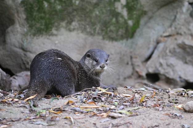 Lontra asiática em habitat natural