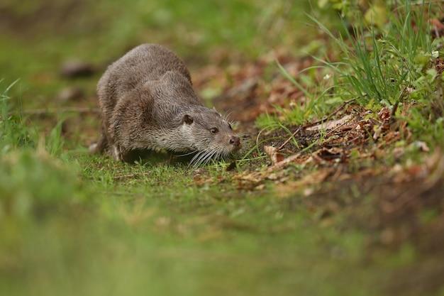 Lontra de rio bonita e brincalhona no habitat natural na república tcheca lutra lutra