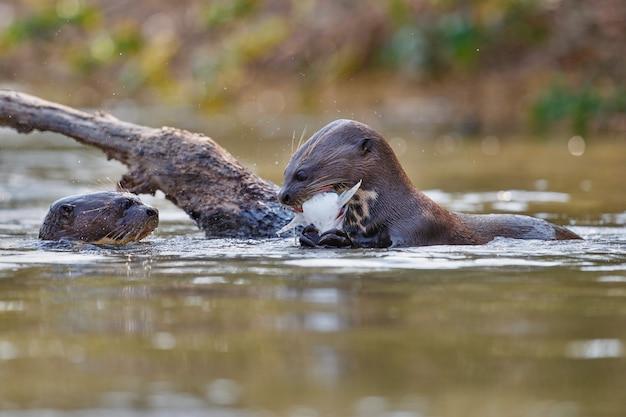 Lontra de rio gigante no habitat natural