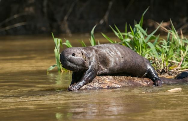 Lontra gigante ao lado da água na selva amazônica