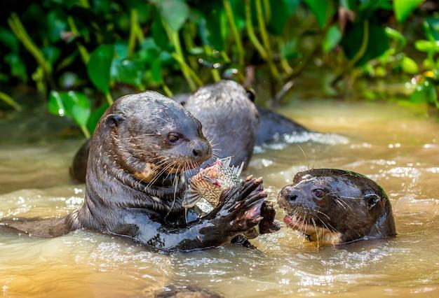 Lontras gigantes comem peixe na água
