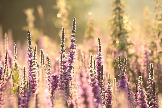 Loosestrife - lythrum salicaria em um prado ao amanhecer