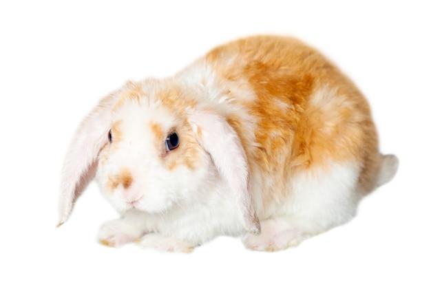 Lop ear little vermelho e branco cor coelho