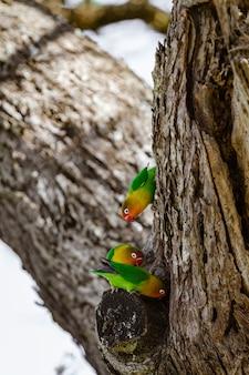 Lorikeets perto do ninho. tanzania, africa