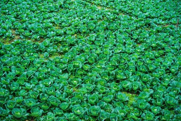 Lote de repolho na montanha no norte da tailândia
