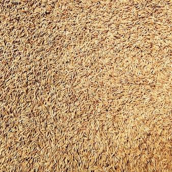 Lotes de sementes de arroz para o fundo