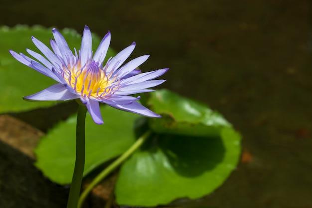 Lótus amarelo azul e folha verde no rio natural