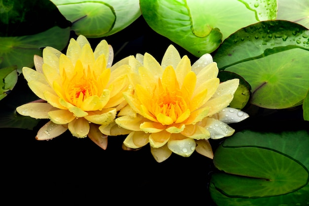 Lótus amarelos que florescem na lagoa.