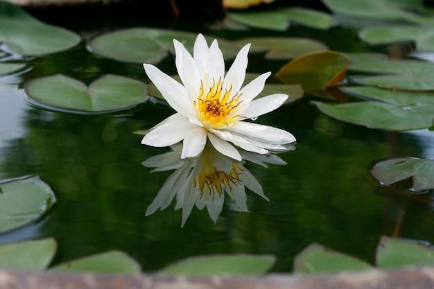 Lótus branco lindo na lagoa