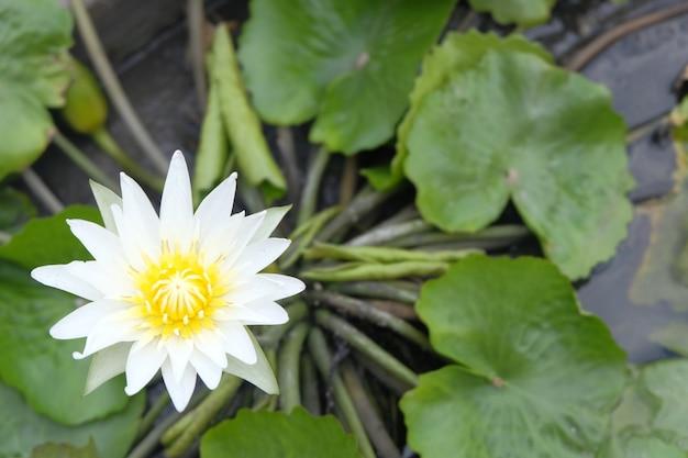 Lótus branco na lagoa