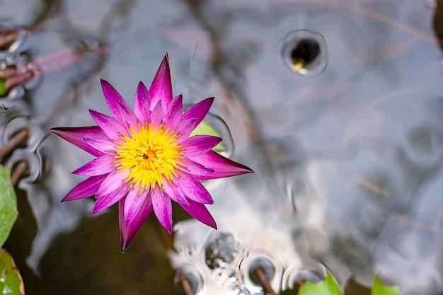 Lótus e sombra roxos bonitos refletidos na água