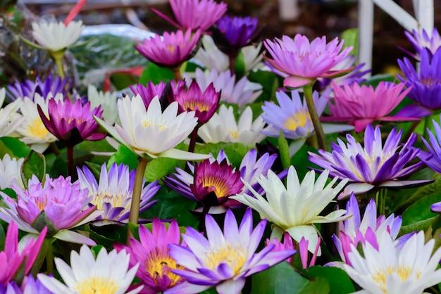 Lotus está florescendo bonita