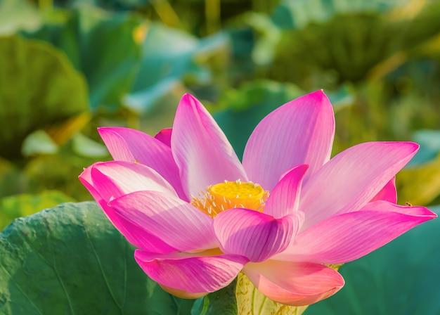 Lotus está florescendo e a luz da manhã
