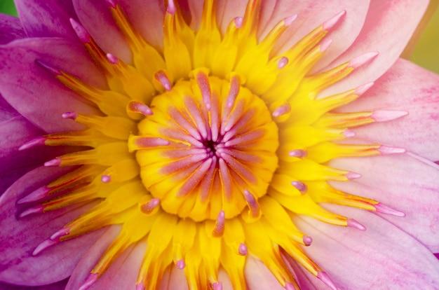 Lótus estame amarelo e folha de lótus com linda floração rosa