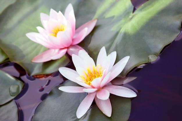 Lótus florescendo muito suculento no lago de perto