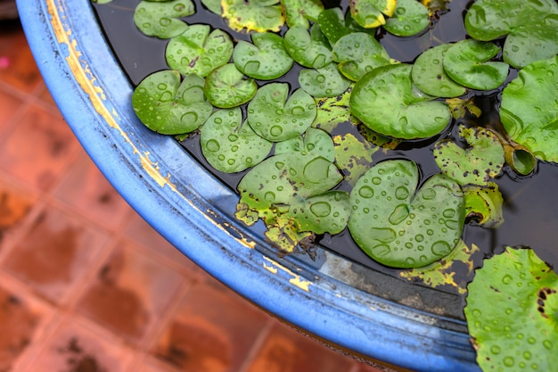 Lotus green leaf está molhada depois da chuva no pote azul e laranja